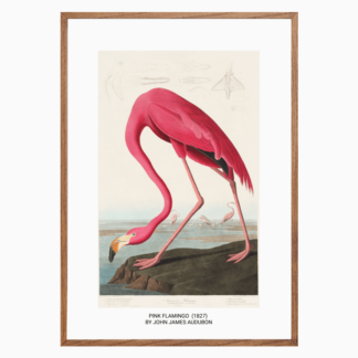 Poster Pink Flamingo from Birds of America (1827)