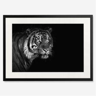 tranh-khung-kinh-treo-tuong-Sumatran-Tiger-on-black