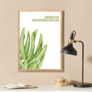 Poster Senecio Mandraliscae