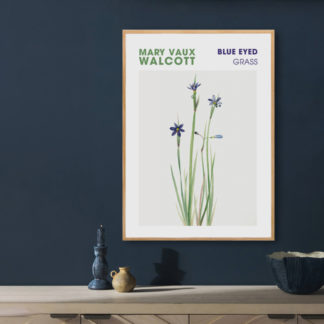 Poster Blue eyed grass by Mary Vaux Walcott