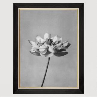 Lotus flowers - Tranh in khung kính gỗ sồi